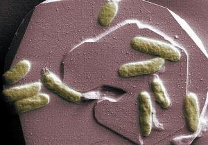 Shewanella oneidensis, проводящие на оболочках клеток микробы (space.com)