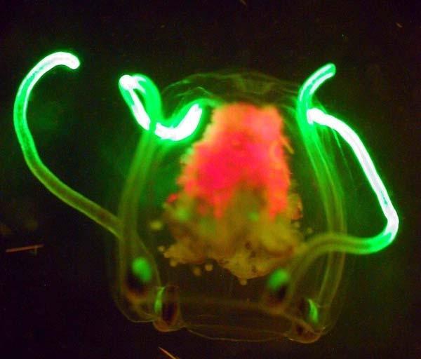 Небольшая медуза, которая вряд ли обладает мощным интеллектом (phys.org)
