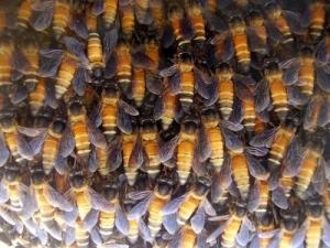 Колония крупных пчел (phys.org)